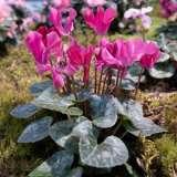 Cyclamen-Outsider-Pink-