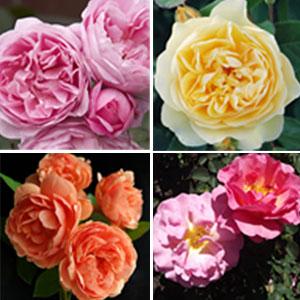 David Austin Rose Collection 4 Roses