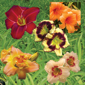 Daylily Premium Collection