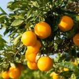 Dwarf Valencia Orange