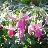Fuchsia-Perry-Park-PPLFUCPPA
