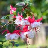 Fuchsia-Weald-View-Swing-PPLFUCWSW