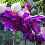 Fuchsia Yvonne Dawn