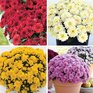 Garden Mum Chrysanthemum Coll COLGMUCOL