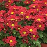 Garden-Mum-Marion-Red-17