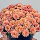 Garden Mum Chrysanthemum Youpi Coral