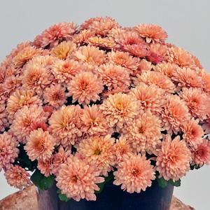 Garden Mum Youpi Coral PPLGMUYCO