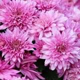 Garden-Mum-Youpi-Violet-PPLGMUYVI