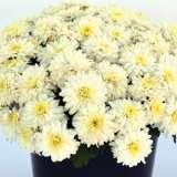 Garden Mum Chrysanthemum Youpi White