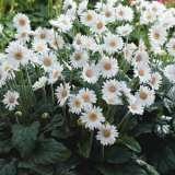 Garvinea Sylvana garden 1