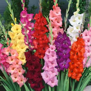 images for gladioli flowers