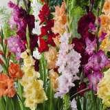 Gladioli Mixed 12 - Garden Express Australia