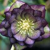 Hellebore Double Purple Green