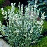 Lavender Ellagance Ice