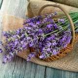 Lavender English