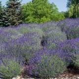 Lavender-True-Blue-LPOLAVTBL