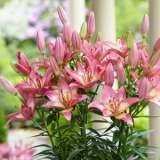 Pot Lilium Elegant Joy