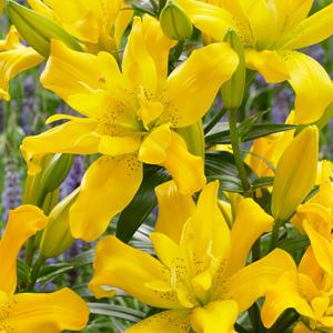 Double Lilium Sundew