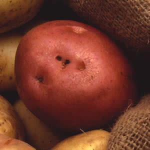 Certified Seed Potato – Pontiac 1kg