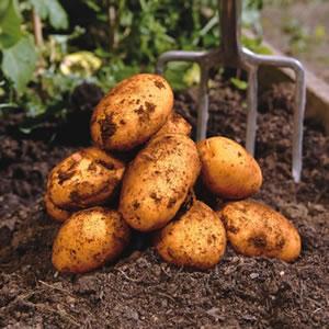 Certified Seed Potato Dutch Cream