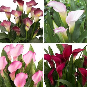 Calla Lily Collection