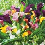 Calla Lily Hybrid Mixed Pk 5