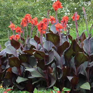 Canna Lily Tropicanna Black (pbr)