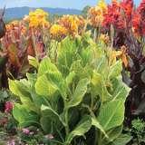 Canna Lily Tropicanna Gold (pbr)