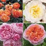David Austin Rose Collection 4 Roses