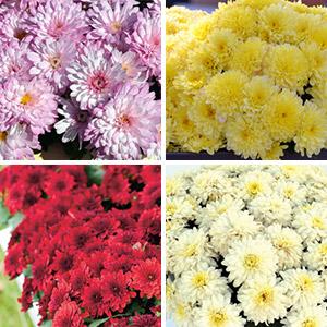 Garden Mum Chrysanthemum Collection