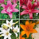 Lilium La Hybrid Collection