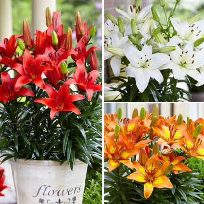 Lilium Asiatic Pot Collection