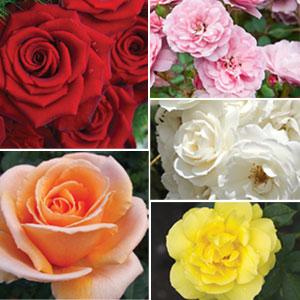 Garden Favourites Collection 5 Roses