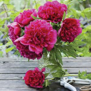 Peony Rose Madame Jos Odier