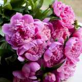 Peony_Rose_Mons_Jules_Elie_15_ST277335965
