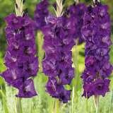 Gladioli Purple Flora