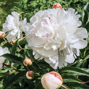 Peony Rose Marie Lemoine