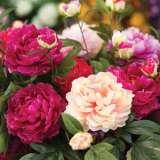 Peony Rose Mixed
