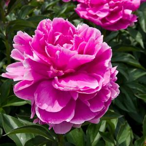 Peony Rose Sarah Bernhardt