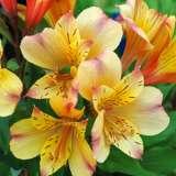 Alstroemeria-Princess-Lily-Ariane-PPLPLIARI