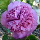 Camellia Dona Herzilla De Freitas Magalhaes