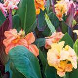 Canna Lily Mixed Pkclimxd - Garden Express Australia