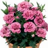 Carnation-Oscar-Pink-&-Purple-PPLCAROPP