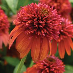 Echinacea Double Scoop Orange Lpoechdso - Garden Express Australia