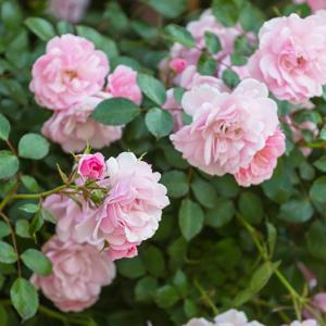 Weeping Standard Rose Flower Carpet Apple Blossom