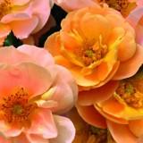 Flower_Carpet_Cluster_Amber