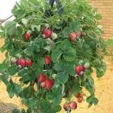Hanging-Strawberry-Planter-ACCHSPB