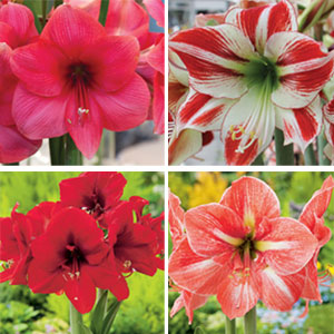Hippeastrum Winter Collection 1
