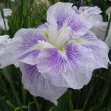Japanese Iris La Tosca