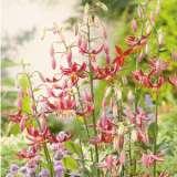 Lilium Arabian Knight Pklilakn